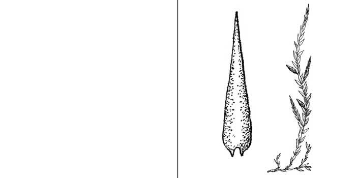 Фонтиналис гипновидный — Fontinalis hypnoides