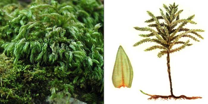 Климаций, или климациум древовидный — Climacium dendroides