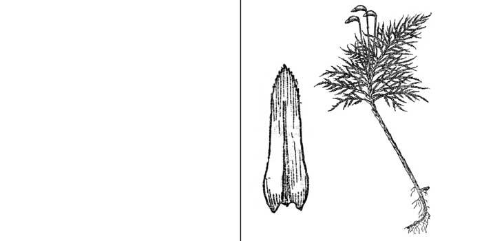 Плеурозиопсис русский — Pleuroziopsis ruthenica