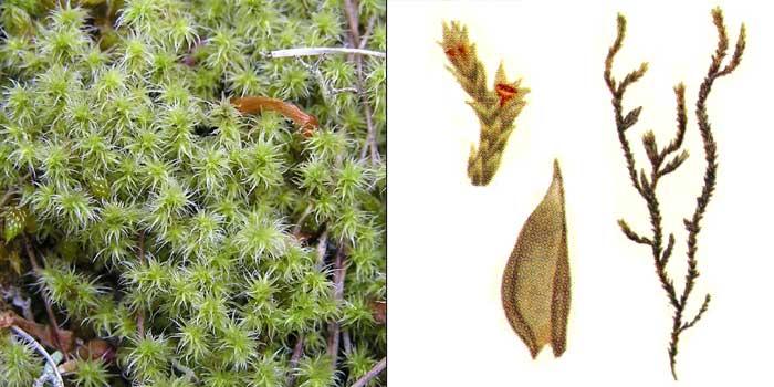 Гедвигия реснитчатая, или беловатая — Hedwigia ciliata