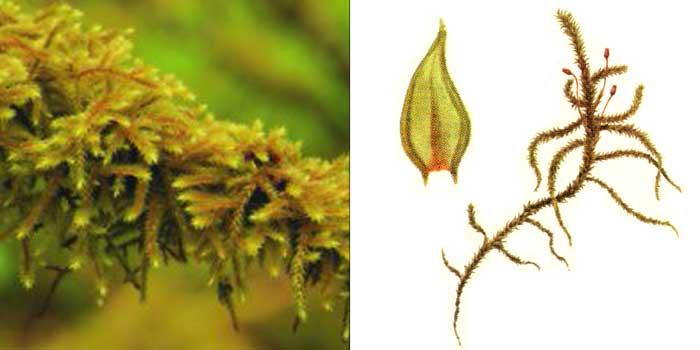 Антитрихия короткоповислая — Antitrichia curtipendula