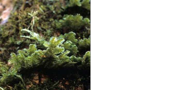 Неккера перистая — Neckera pennata