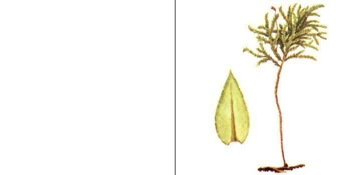 Тамний, или тамниум лисохвостый — Thamnium alapecurum