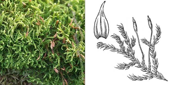 Лескея многоплодная — Leskea polycarpa