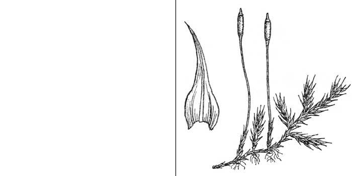 Лескеелла жилковатая — Leskeella nervosa