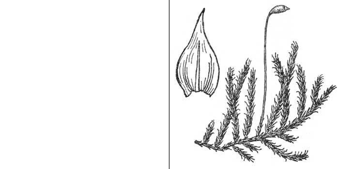 Лекерея согнутая, или черно-зеленая — Lescuraea incurvata