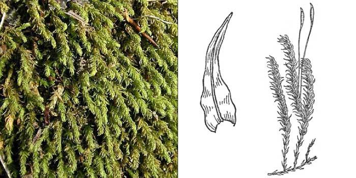 Аномодон усатый — Anomodon viticulosus