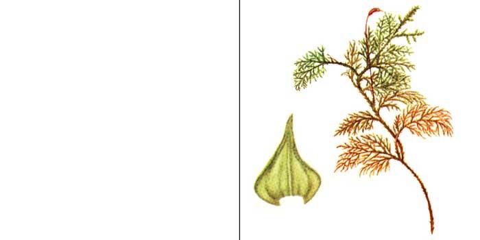 Туидий, или туидиум тамарисколистный — Thuidium tamariscifolium