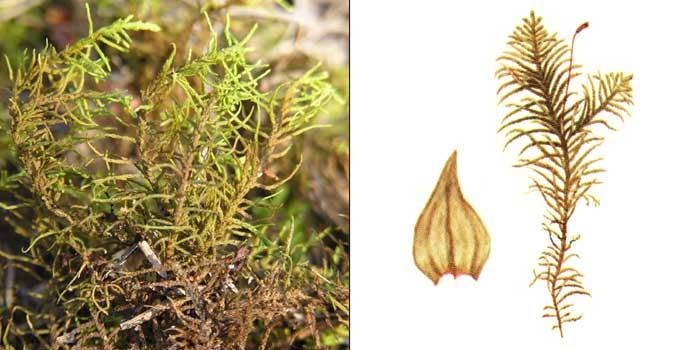 Абиетинелла елеобразная — Abietinella abietina