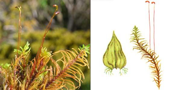 Гелодий, или гелодиум Бландова — Helodium blandowii