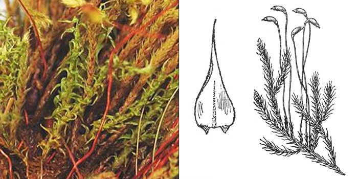 Кампилий, или кампилиум многодомный — Campylium polygamum