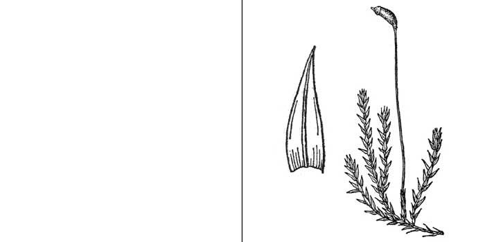 Гигроамблистегий, или гигроамблистегиум речной — Hygroamblystegium