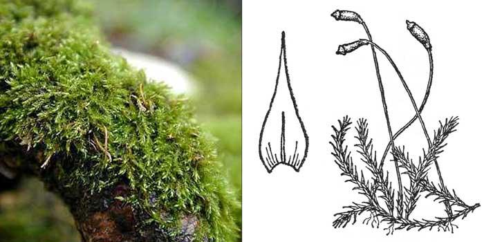 Амблистегий, или амблистегиум ползучий — Amblystegium serpens