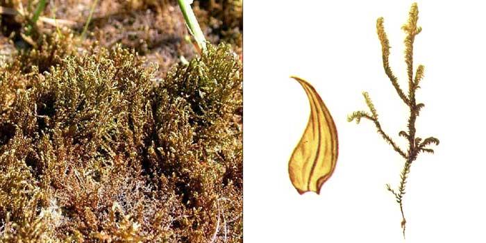Дрепаноклад, или дрепанокладус плауновидный — Drepanocladus lycopodioides