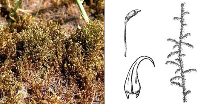 Дрепаноклад, или дрепанокладус крючковато-изогнутый — Drepanocladus aduncus