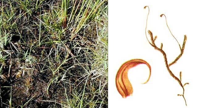 Дрепаноклад, или дрепанокладус отвернутый — Drepanocladus revolvens