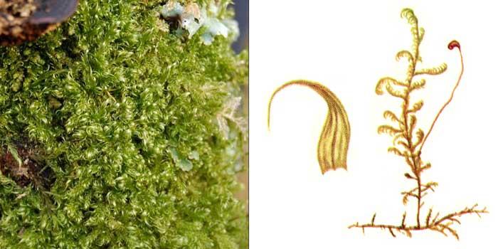 Дрепаноклад, или дрепанокладус крючковатый, или саниония крючковатая — Drepanocladus uncinatus