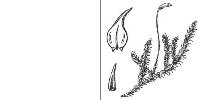 Гигрогипн, или гигрогипнум грязно-желтый, или болотный — Hygrophypnum luridum
