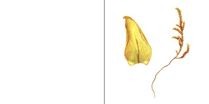 Гигрогипн, или гигрогипнум охряный — Hygrophypnum ochraceum