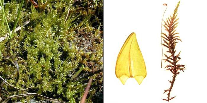 Каллиэргон гигантский — Calliergon giganteum