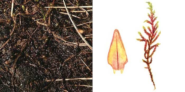 Каллиэргон лозовой — Calliergon sarmentosum