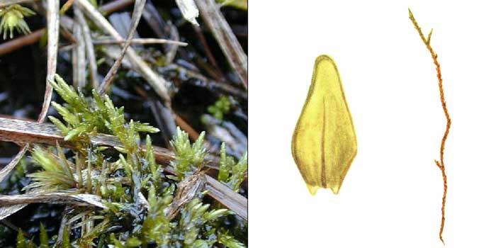 Каллиэргон соломенно-желтый — Calliergon stramineum
