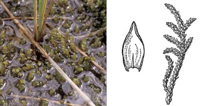 Скорпидий, или скорпидиум вздувающийся — Scorpidium turgescens