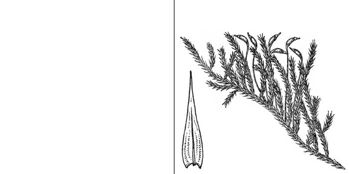 Камптотеций, или камптотециум желтеющий — Camptothecium lutescens