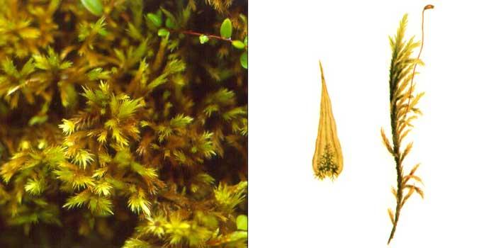 Томентгипн, или томенгипнум блестящий, или камптотеций волосовидный — Tomenthypnum nitens