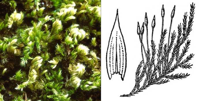 Гомалотеций, или гомалотециум шелковистый — Homalothecium sericeum