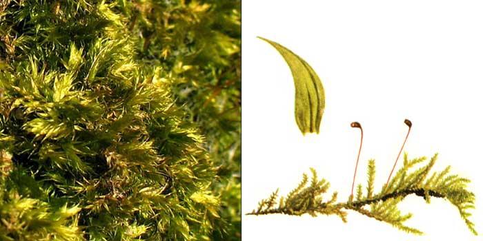 Брахитеций, или брахитециум шероховатый — Brachythecium salebrosum