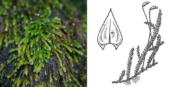 Брахитеций, или брахитециум ручейный — Brachythecium rivulare