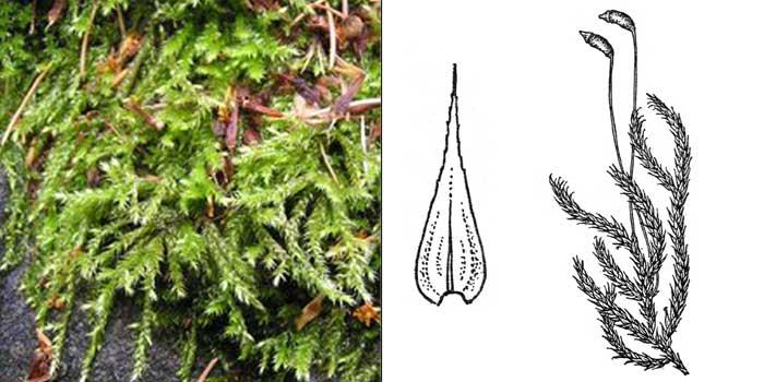 Брахитеций, или брахитециум полевой — Brachythecium campestre