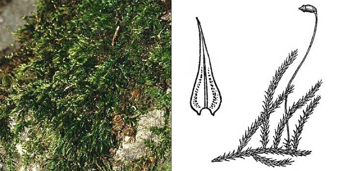 Брахитеций, или брахитециум тополевый — Brachythecium populeum