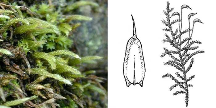 Циррифилл, или циррифиллум волосконосный — Cirriphyllum piliferum
