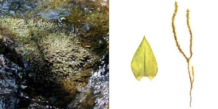 Ринхостегий, или ринхостегиум береговидный, или иглицеподобный — Rhynchostegium riparioides