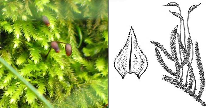 Эуринхий, или эуринхиум полосатый — Eurhynchium striatum