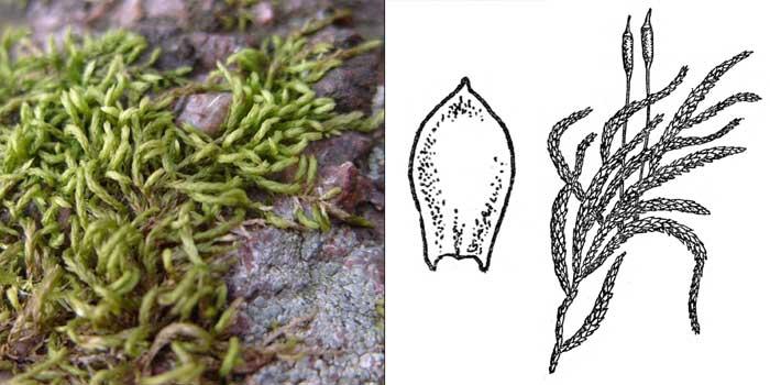 Птеригинандр, или птеригинандрум нитевидный — Pterigynandrum filiforme