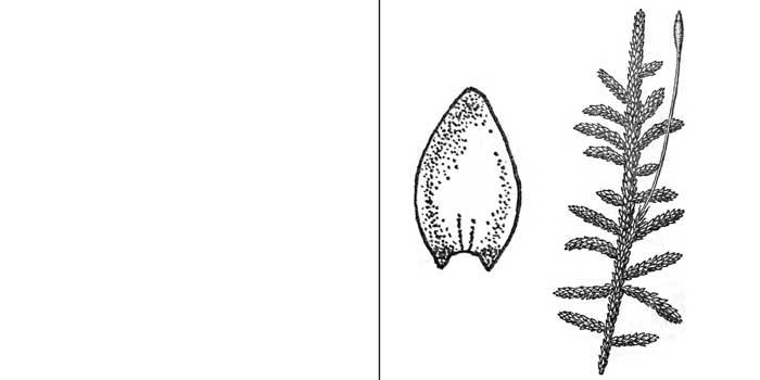 Энтодон прямоплодный — Entodon orthocarpus