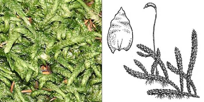 Плагиотеций, или плагиотециум волнистый — Plagiothecium undulatum