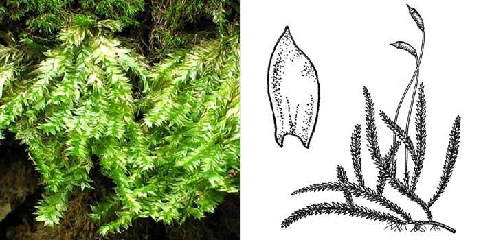 Плагиотеций, или плагиотециум мелкозубчатый — Plagiothecium denticulatum