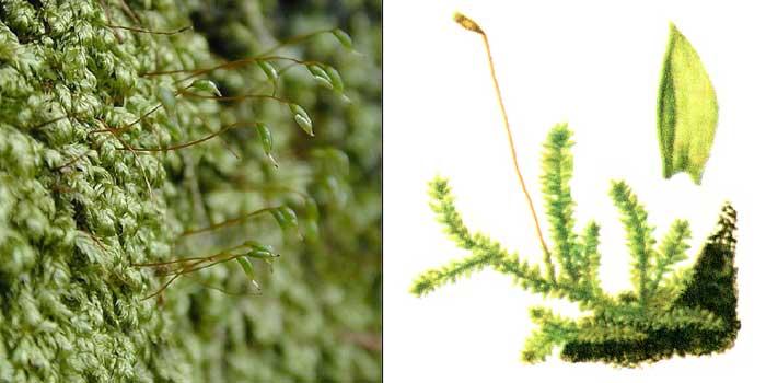 Плагиотеций, или плагиотециум яркий — Plagiothecium laetum