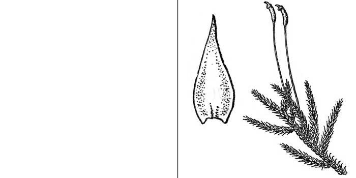 Гетерофиллий, или гетерофиллиум Гальдани — Heterophyllium haldanianum