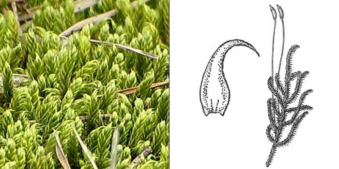 Гипн, или гипнум кипарисовый — Hypnum cupressiforme