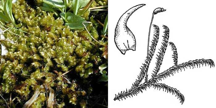 Брейдлерия дуговидная — Breidleria arcuata
