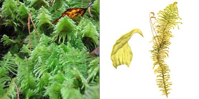 Птилий, или птилиум гребенчатый — Ptilium crista-castrensis