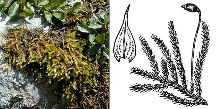 Птиходий, или птиходиум складчатый — Ptychodium plicatum