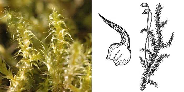 Ритидиадельф, или ритидиадельфус оттопыренный — Rhytidiadelphus squarrosus