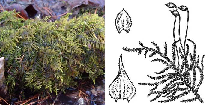 Гилокомиастр, или гилокомиаструм теневой — Hylocomiastrum umbratum