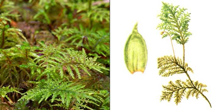 Гилокомий, или гилокомиум блестящий, или израстающий — Hylocomium splendens